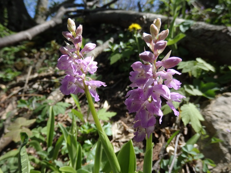 2Orchis_mascula_x_pallens.JPG