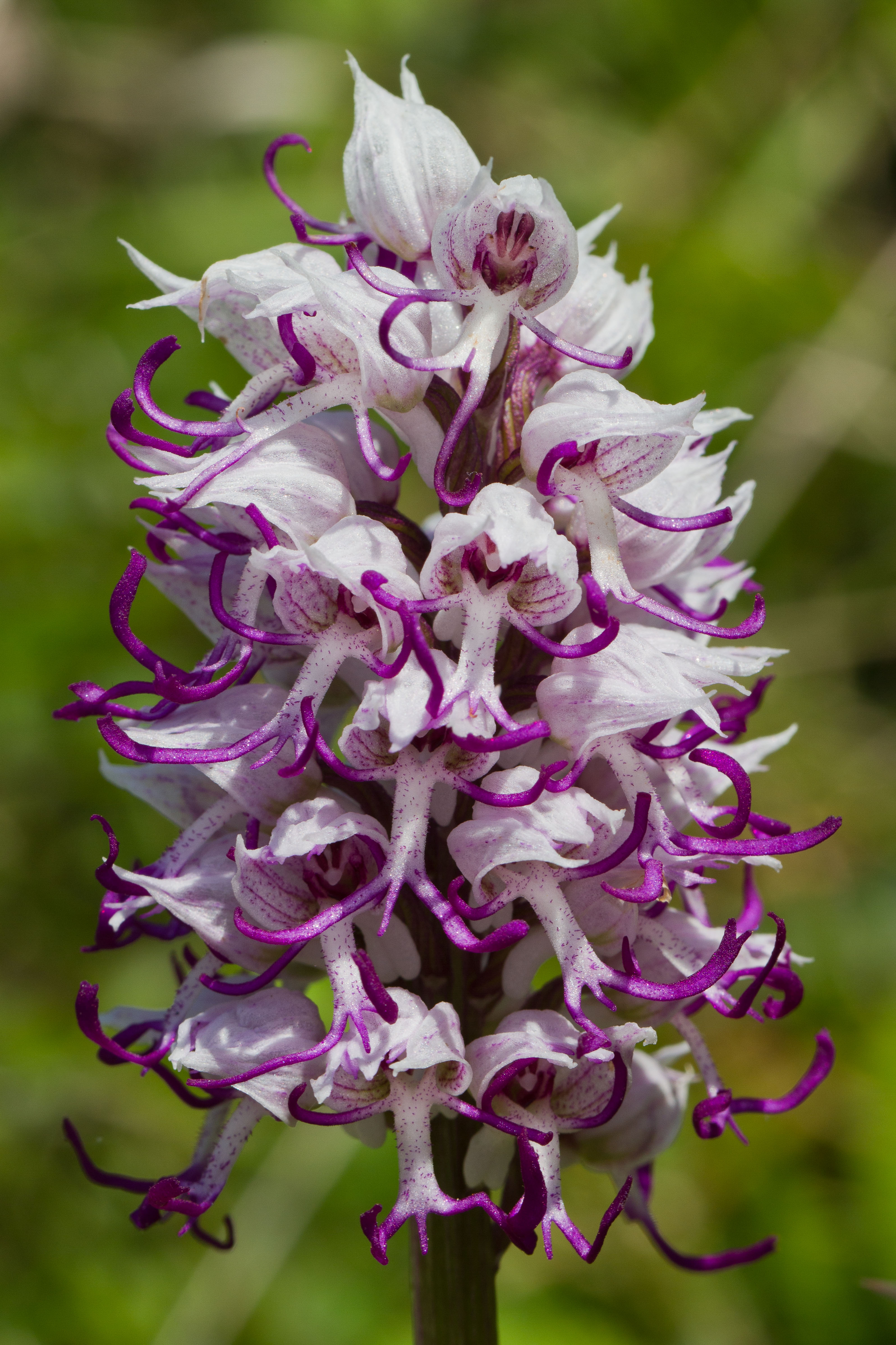 Orchidaceae_Orchis simia 1-2.jpg