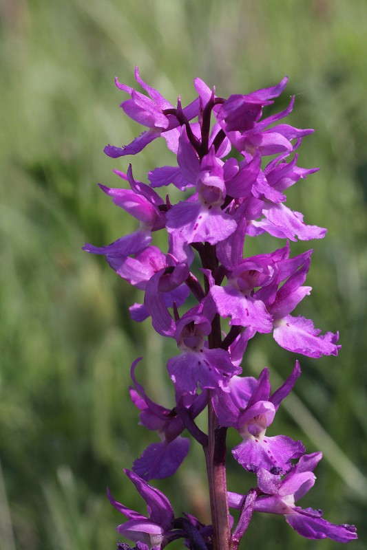 k-Orchis mascula.JPG